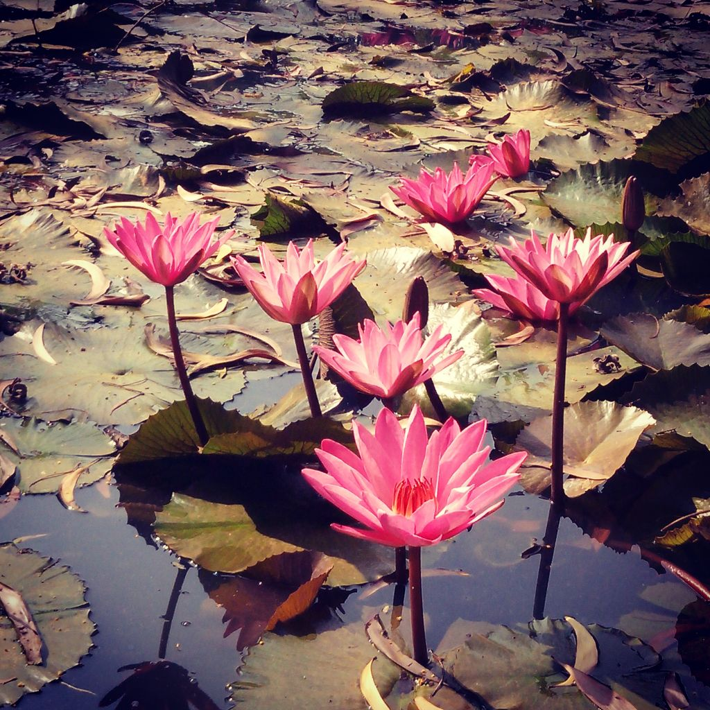 Lotus Bjp Image By Mihir Ajay Kambli