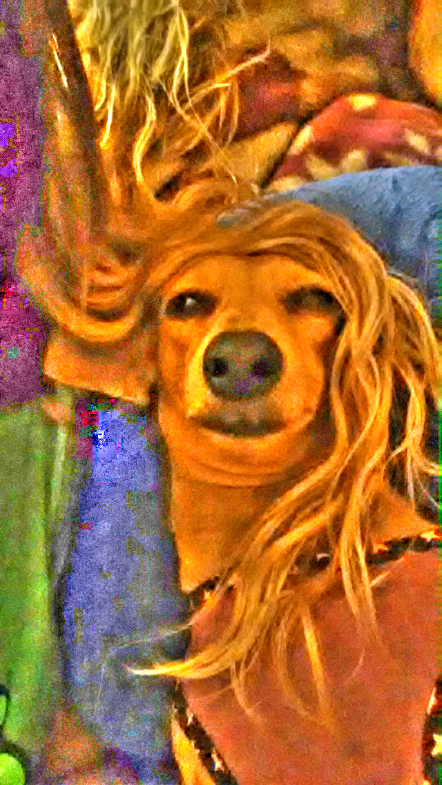 long hair don't care #dacshund#dogs#photography #mansbestfriend