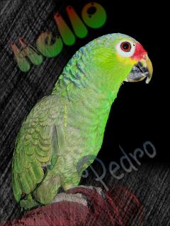 pedro bird pet ave