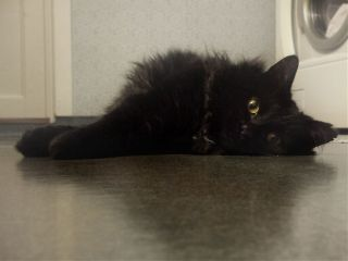 cat pets beautiful black out
