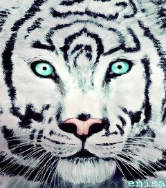 drawing digital white tiger art