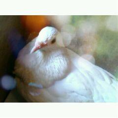 pigeon nature wapwhite 10