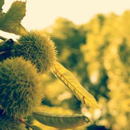 nature chestnuts
